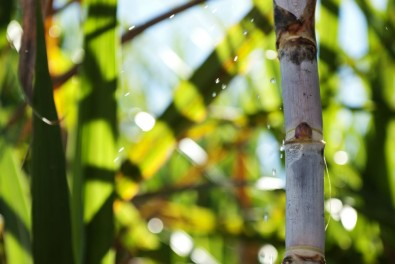 Software localiza genes de interesse na cana-de-açúcar