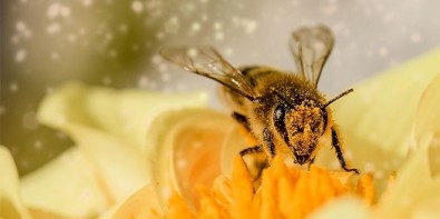 A combination of agrochemicals shortens the life of bees and modifies their behavior, study shows