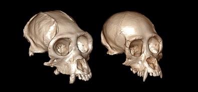 3D reconstruction of craniums elucidates the evolution of New World monkeys