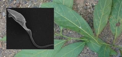 Composto de planta brasileira combate leishmaniose e doença de Chagas