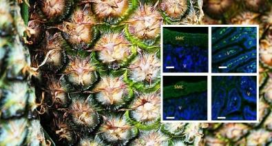 Científicos develan el efecto analgésico de la bromelina del ananá