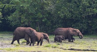 Elefante africano ajuda a aumentar estoque de carbono na floresta