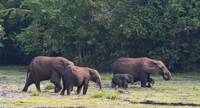 African forest elephant helps increase biomass and carbon storage
