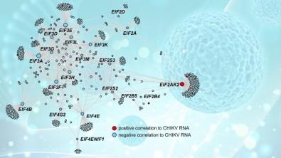 Infecção aguda pelo chikungunya é estudada em nível molecular em pacientes brasileiros
