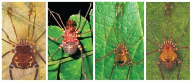 High diversity of harvestmen in Atlantic Rainforest is associated with ancient geological events