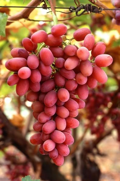 Suco de uva com mais resveratrol é desenvolvido na USP
