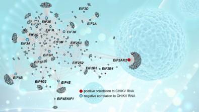 Estudian la infección aguda por chikunguña a nivel molecular en pacientes de Brasil