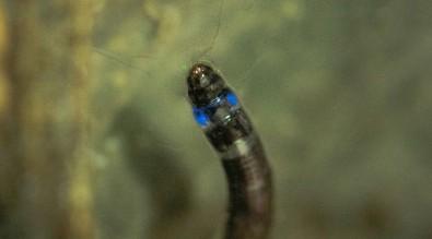 Descoberto o primeiro inseto sul-americano que emite luz azul