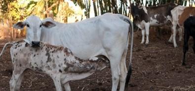 Estudo pode contribuir para aumentar taxa de sucesso de gestação em bovinos