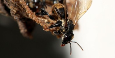 Stingless bee species depend on a complex fungal community to survive