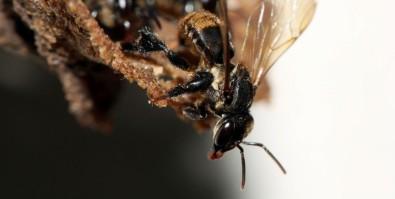 Una abeja brasileña depende de una compleja comunidad fúngica para sobrevivir