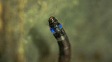 Descubierto el primer insecto sudamericano que emite luz azul
