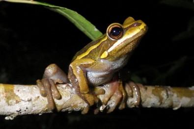América do Sul abriga mais de 2,5 mil espécies de sapos, rãs e pererecas