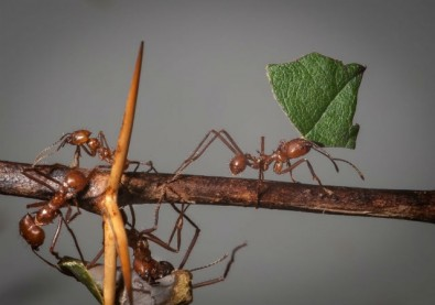 Leafcutter ants accelerate the cutting and transport of leaves when threatened by stormy weather