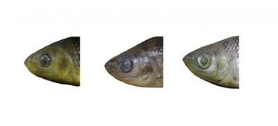 Factores ambientales influyen sobre la morfología y el comportamiento de las bogas