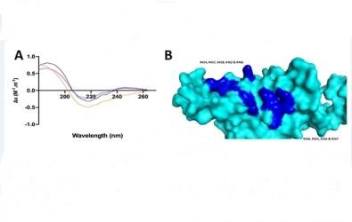 Un medicamento anticoagulante reduce hasta un 70% la infección que provoca el SARS-CoV-2 en las células