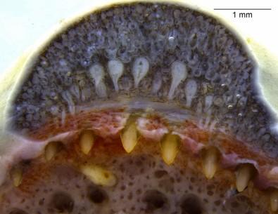 Glândulas de veneno similares às de serpentes são encontradas em anfíbios
