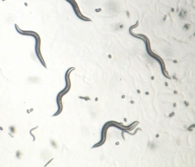 Mitocôndrias de organismos longevos são mais eficientes em obter energia de lipídios