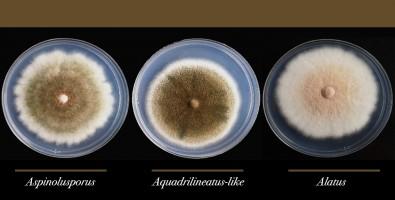 Descubren un hongo híbrido implicado en infecciones pulmonares