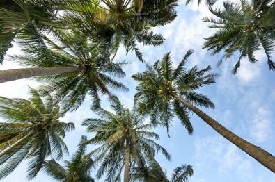 Papel das palmeiras nos ecossistemas pode estar subestimado