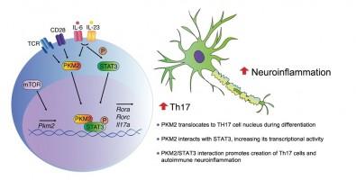Study identifies key enzyme for development of autoimmune diseases