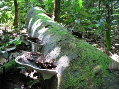 Redução da vida útil das árvores em florestas poderá neutralizar ganhos com sequestro de CO2