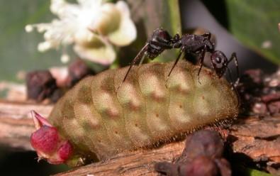 Lagartas-formigueiras usam camuflagem química ou recompensas doces para se proteger de formigas