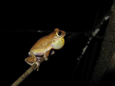 En el Cerrado, la topografía explica la diversidad genética de los anfibios más que la cobertura vegetal
