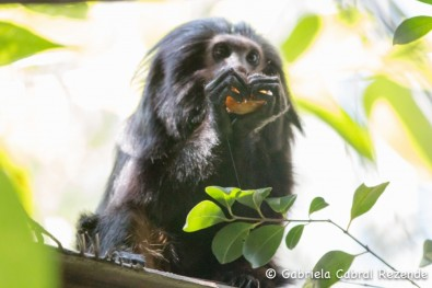 Novel method identifies areas most suitable for conservation of black lion tamarin