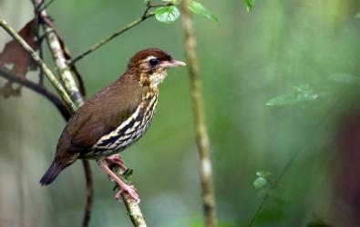 Taxa de formação de novas espécies de aves nas Américas é mais acelerada em regiões com menor diversidade