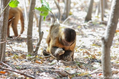 Comportamento de macacos-prego pode ser identificado por marcas deixadas em suas ferramentas