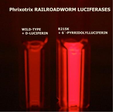 Pesquisadores da UFSCar obtêm bioluminescência vermelha mais eficiente