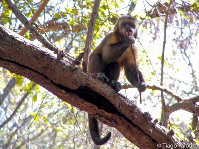 Behavior of wild capuchin monkeys can be identified by marks left on their tools