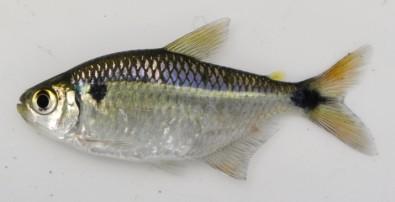 Instituto de Pesca desenvolve método mais barato de criação de lambari para isca viva