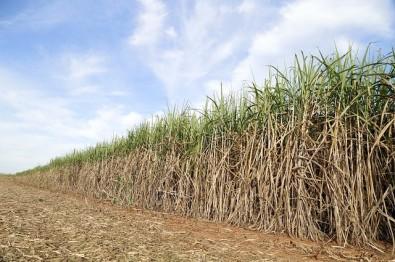 Pesquisa mostra sustentabilidade do cultivo de cana-de-açúcar para bioenergia