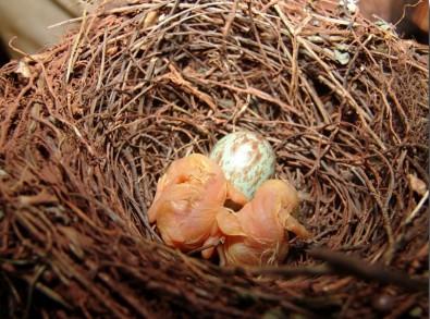 Estudo identifica Cerrado como ambiente de proteção para ninhos de aves