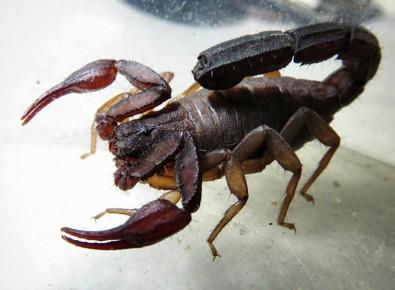 Moléculas com potencial para combater a doença de Chagas mimetizam toxina do veneno de escorpião