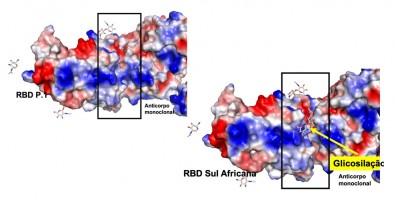 Descrito possível mecanismo que permite à variante sul-africana do coronavírus escapar do sistema imune