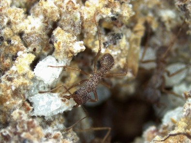 Novo composto antifúngico é descoberto em ninho de formigas-cortadeiras
