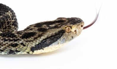 Primeiro sequenciamento genético de serpente brasileira é concluído