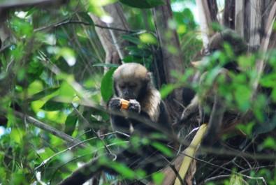 Poaching affects behavior of critically endangered capuchin monkeys in Brazilian biological reserve