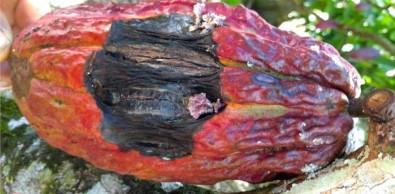 Estudo avança no entendimento da vassoura-de-bruxa, doença que derrubou a produção de cacau no Brasil