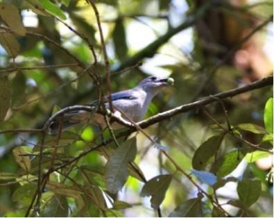 Aves que dispersam mais tipos de sementes têm maior chance evolutiva