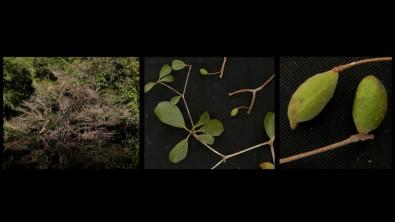 Barreira dos rios influenciou, mas não foi decisiva para criar a alta biodiversidade vegetal amazônica