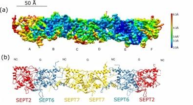 Cientistas desvendam estrutura de proteínas essenciais para a divisão celular