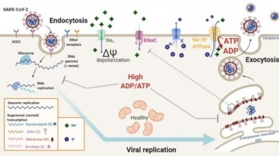 Study reveals how saline solution can inhibit replication of SARS-CoV-2