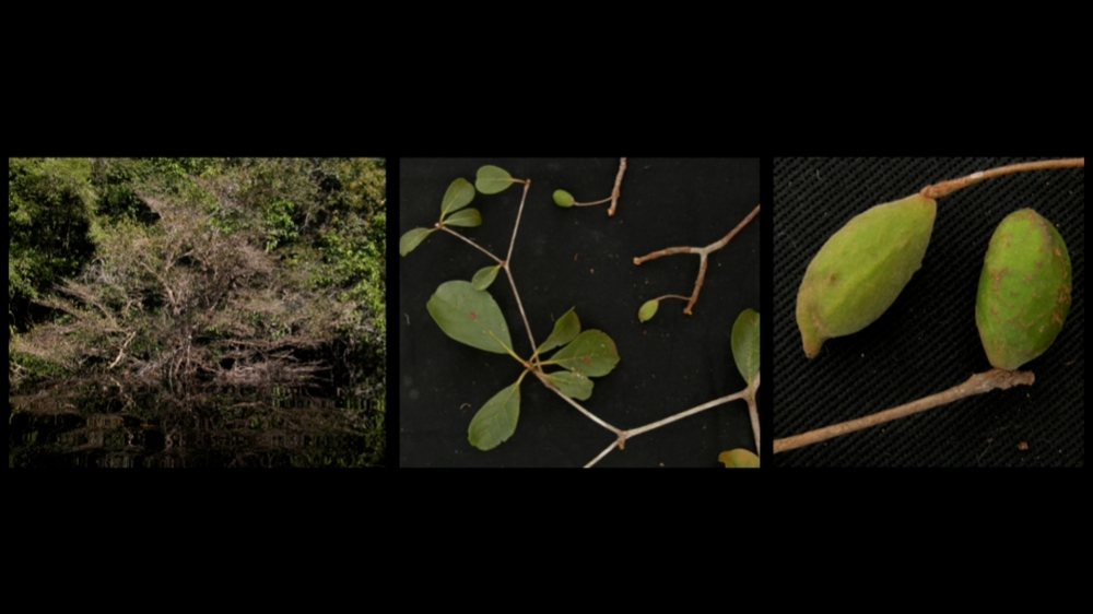 Riverine barriers influenced but were not decisive for the evolution of the Amazon's huge plant diversity
