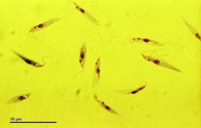Iniciação Científica em Bioquímica e Parasitologia com bolsas da FAPESP